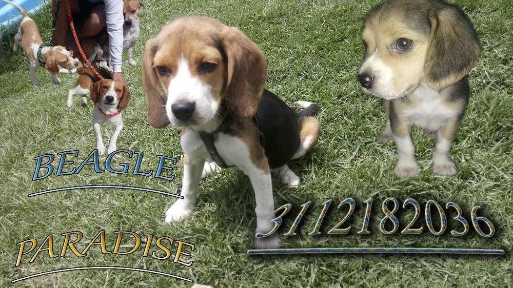 Cachorro <strong>beagle</strong> 13 Pulgadas