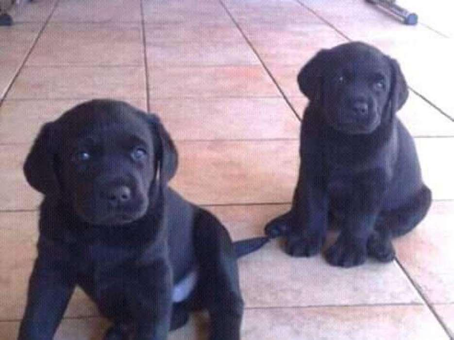 Lindos Cachorros Labradores