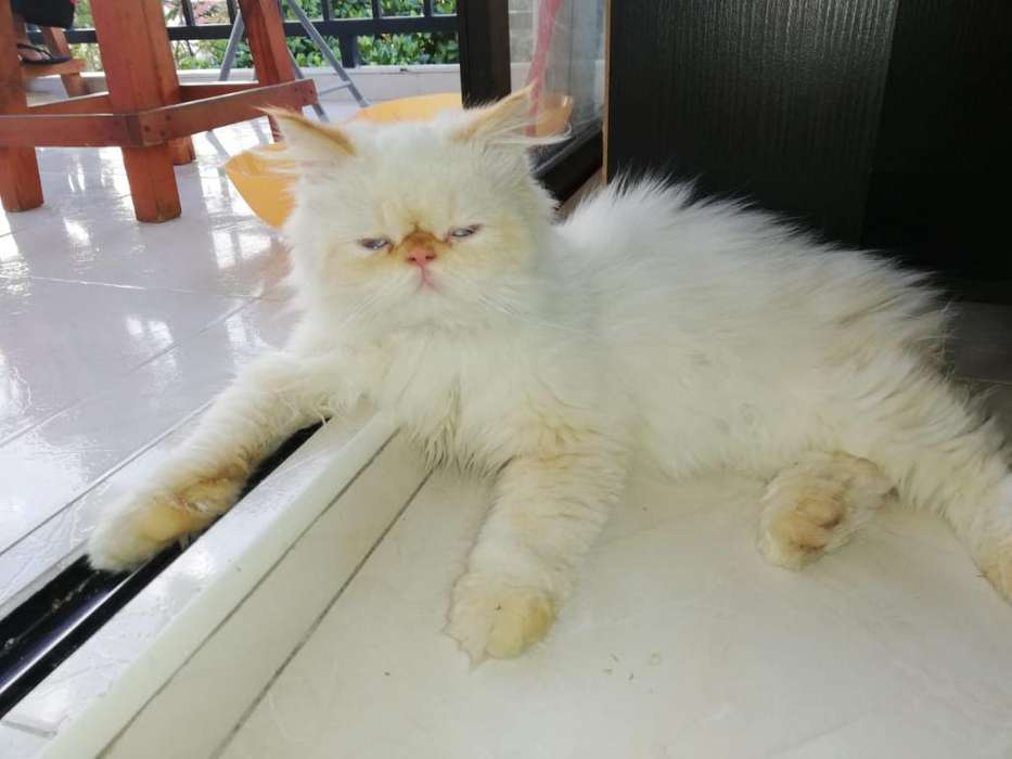 Gato Persa Himalayo Extremo Busca Novia