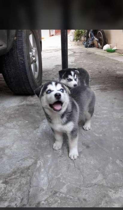 Se Vende Perros Lobos Siberianos