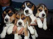beagle mini hermosos