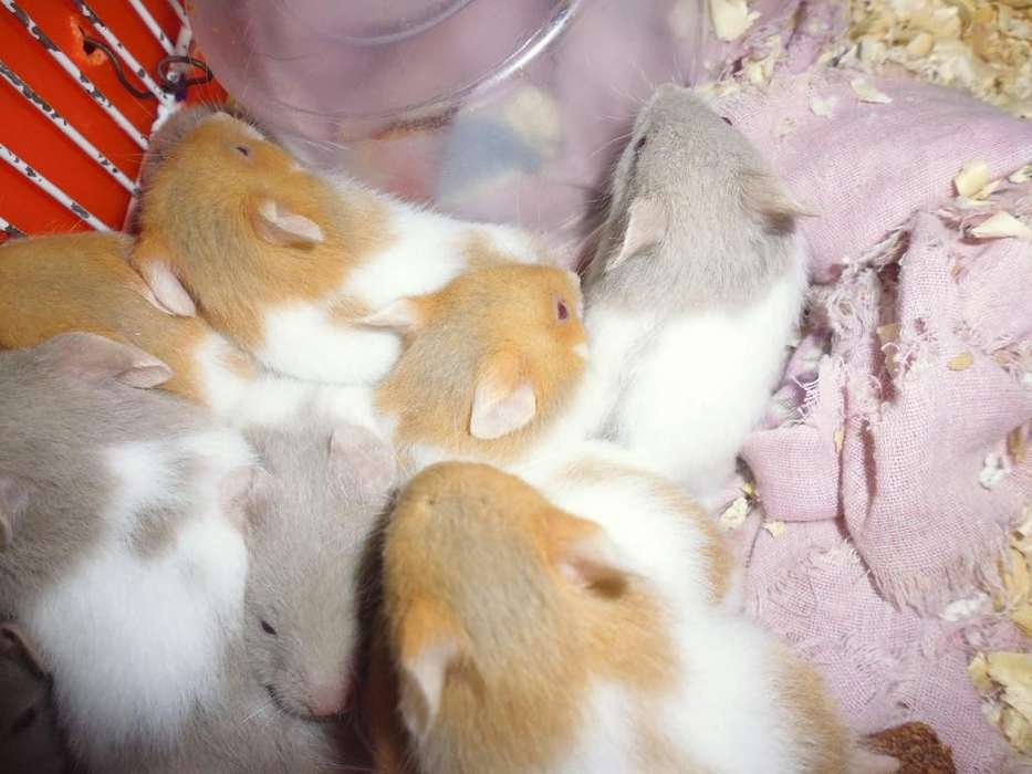 venta hamsters (responsable)