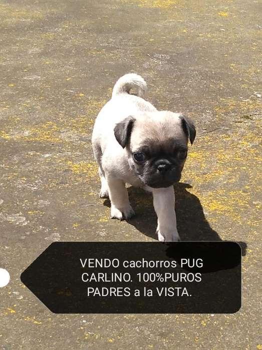 Originales Cachorrit@s Pug Carlino.