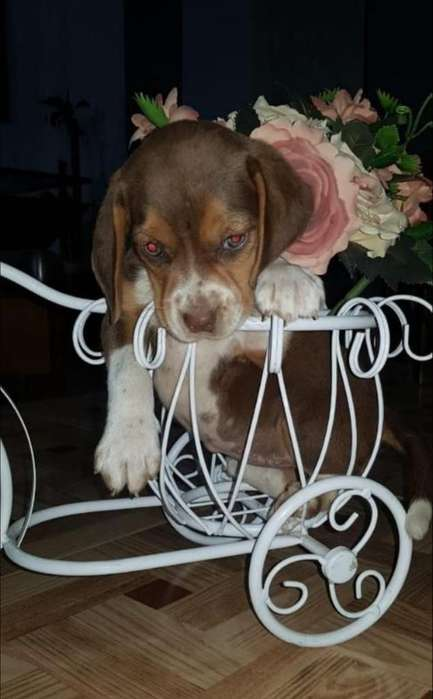 Se Vende Cachorra <strong>beagle</strong>