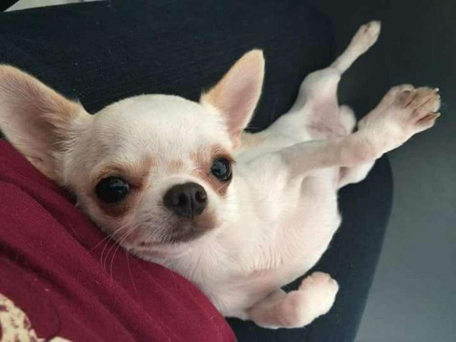 Macho Chihuahua para Monta