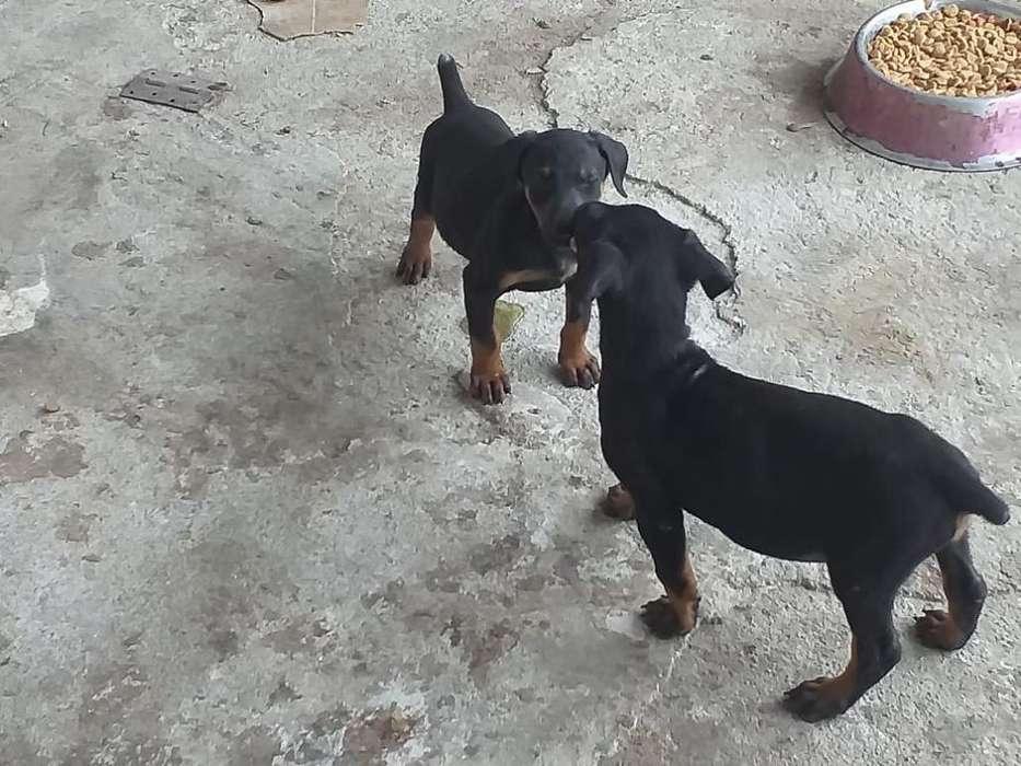 Vendo Cachorros Doberman Puros Grandes