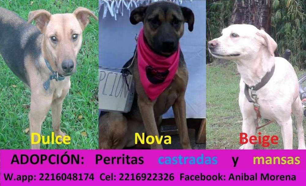 Adopcion perras CASTRADAS w.app 2216048174