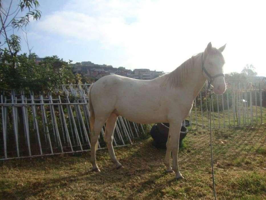 <strong>caballo</strong> zarco briosos
