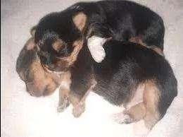 se venden hermosos cachorritos de raza yorkshire <strong>terrier</strong> negociables