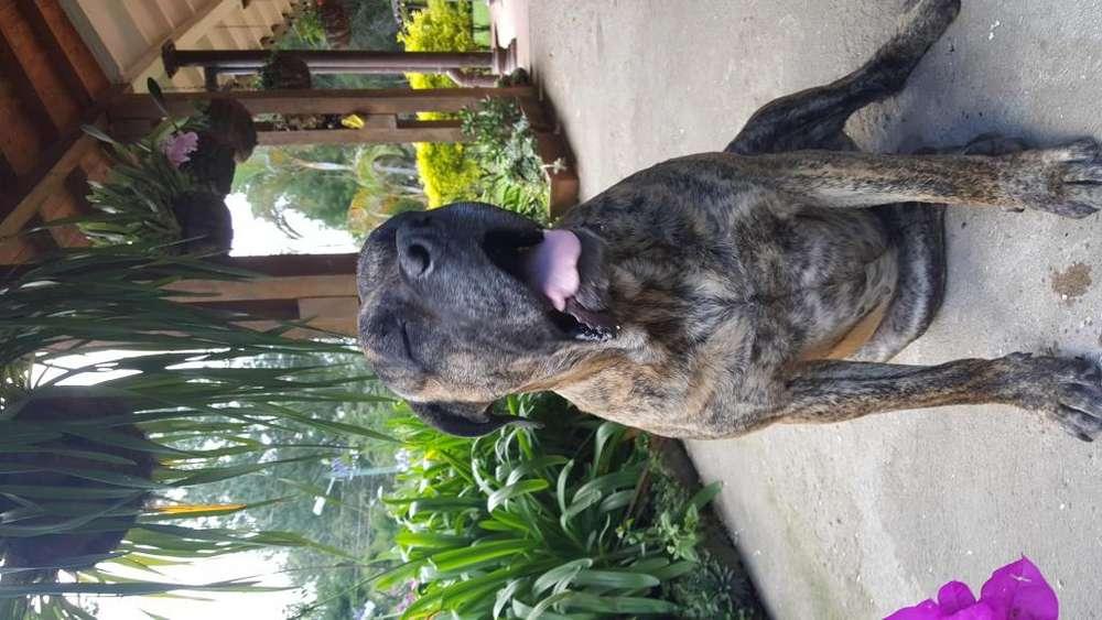 <strong>cachorro</strong>s Presa Canario