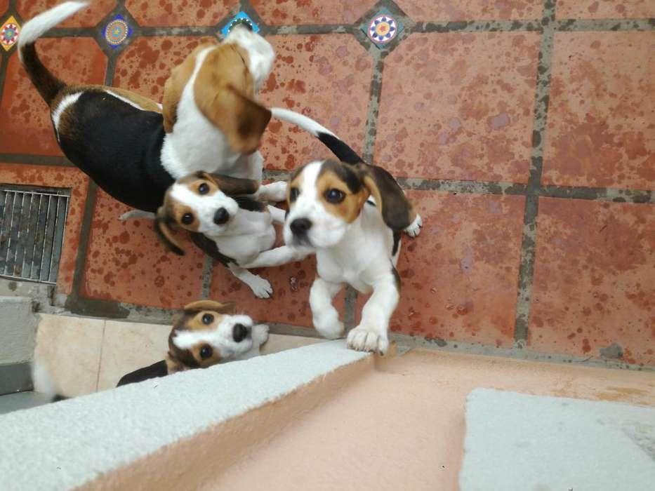 Beagle tricolor macho