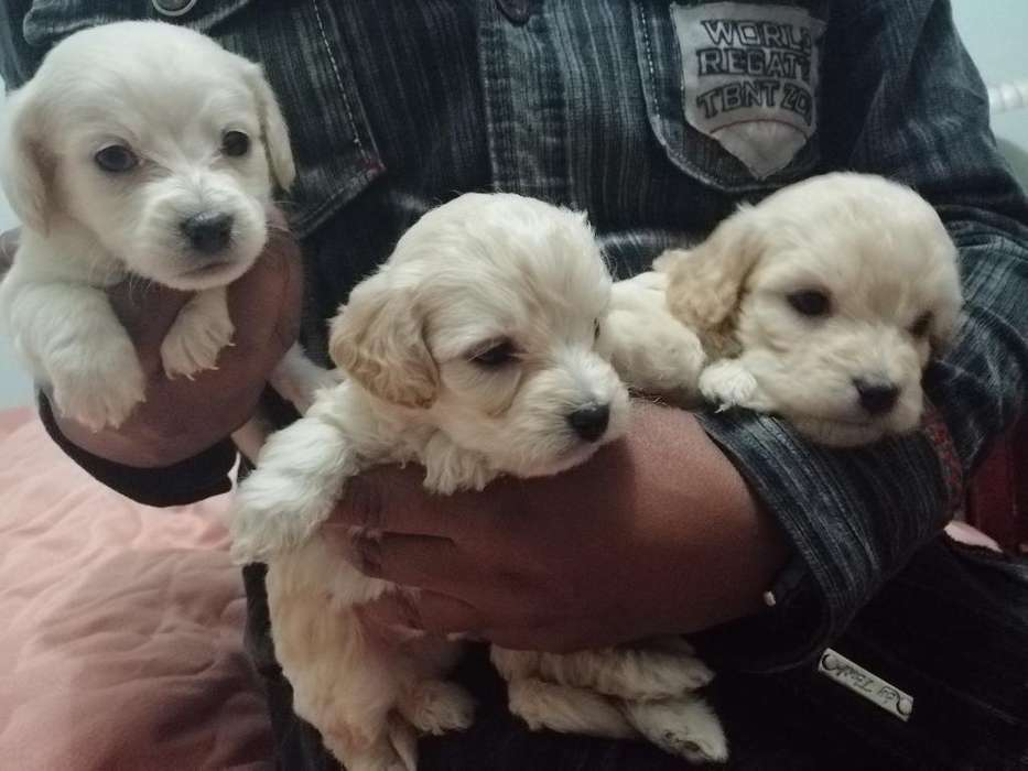 Vendo Cachorros French Poodle