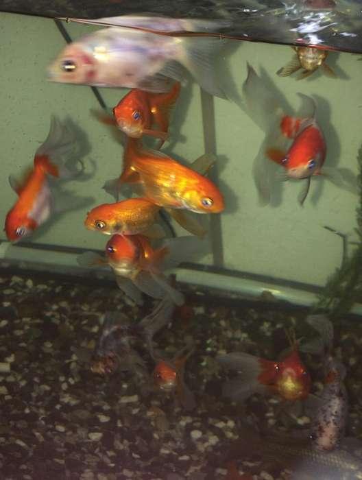 peces Cometas, Telescópicos Y Bailarinas