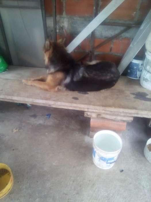 Vendo Lobo Siberiano de 2 Meses Y <strong>perra</strong>