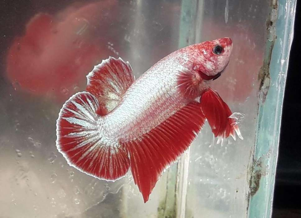 Pez Betta Didponibles