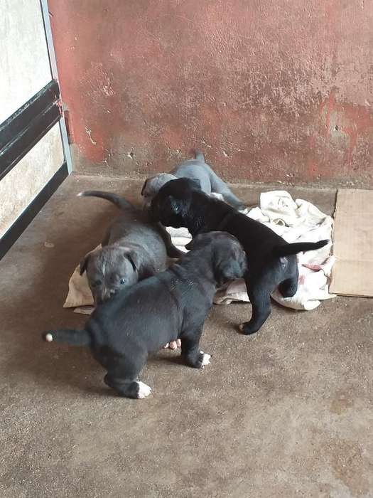Cachorros Pitbull 0959757092a.bully