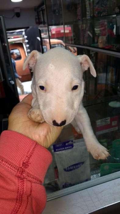 Bull <strong>terrier</strong> Puros