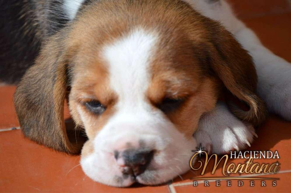 CACHORROS <strong>beagle</strong> TRICOLOR EN CALI