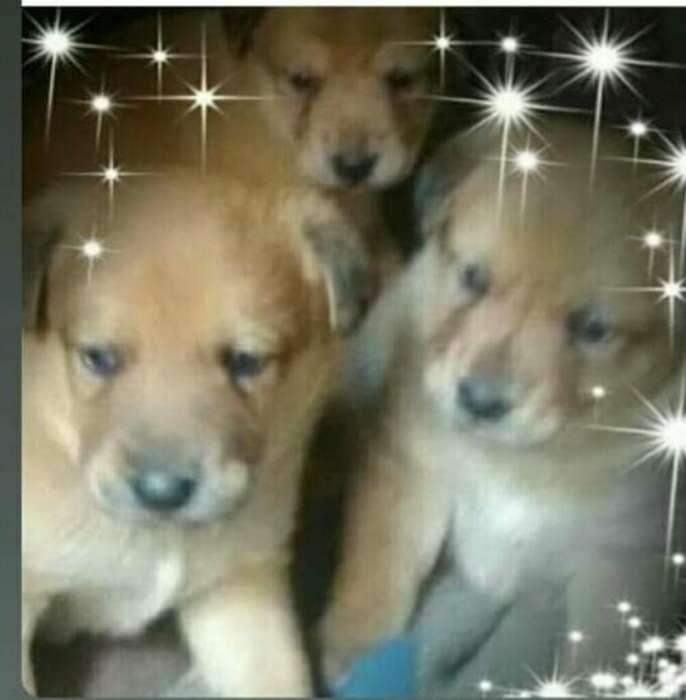 Adopción Labrador Cruzados 80 Mil Bebes