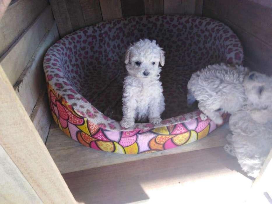 Cachorros Poodle de mes y medio - Arequipa