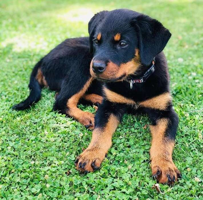 cachorros <strong>rottweiler</strong> aleman