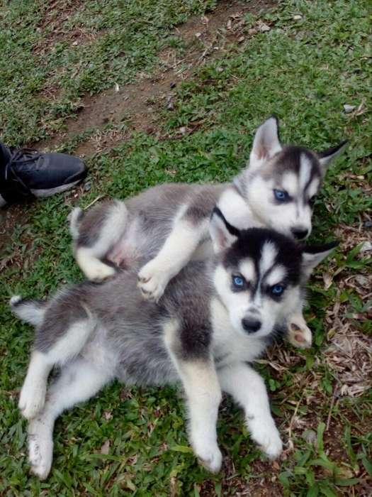 <strong>cachorro</strong>s Lobo Siberiano Criadero P.c