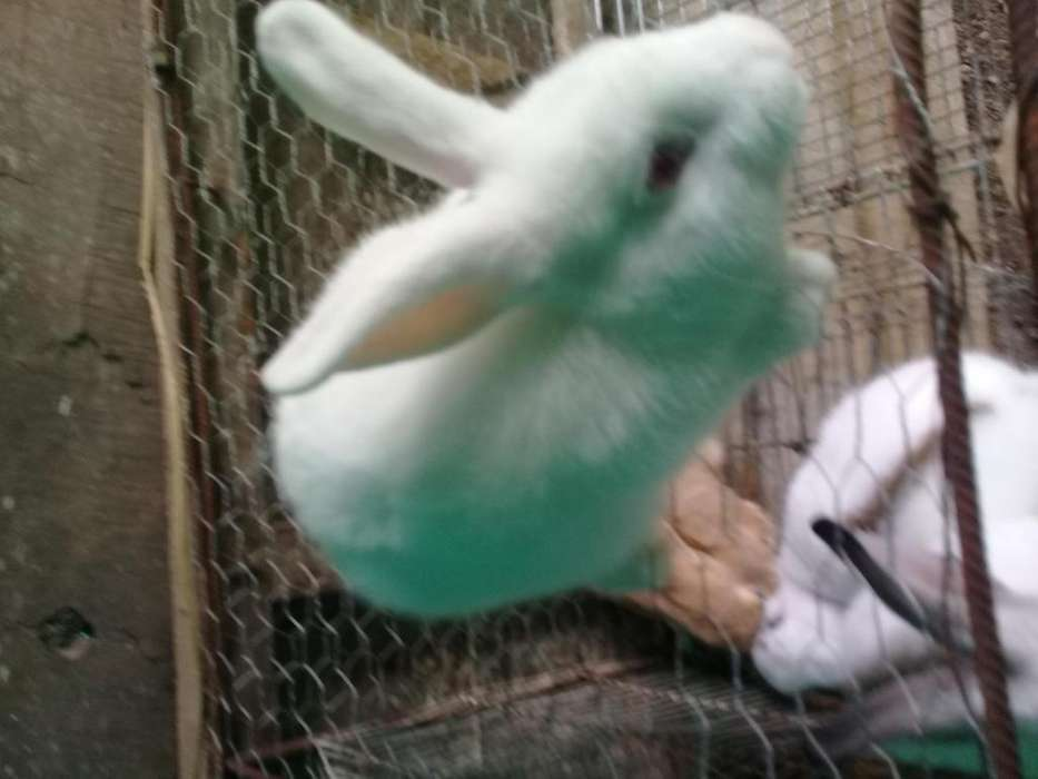 Se vende conejos gigantes