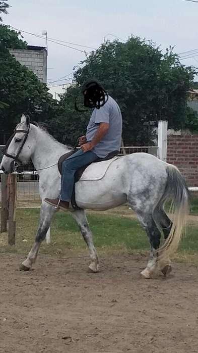 Vendo <strong>caballo</strong> Español Tres Cuartos