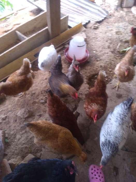 Vendo Pollas Criollas
