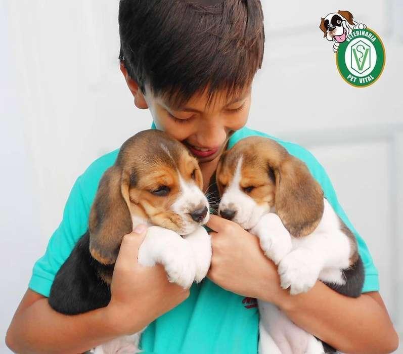 Hermosos cachorros Beagle tricolor Originales en Pet Vital !!!