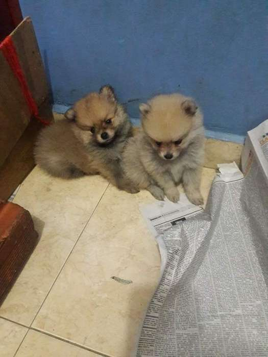 Pomeranios Lulú Disponibles