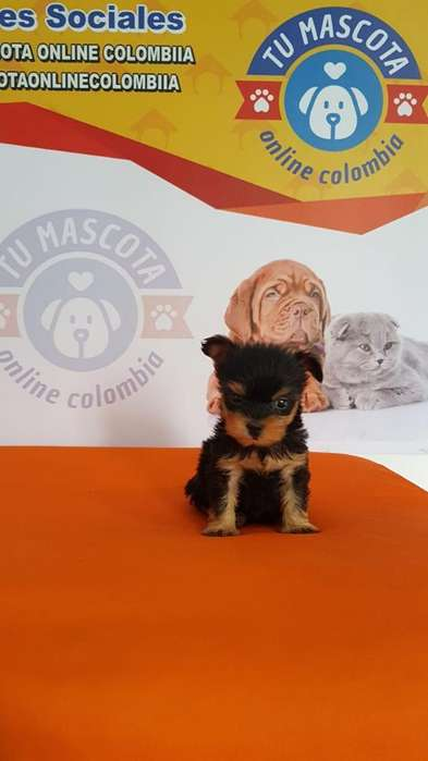 Oferta Yorkshire <strong>terrier</strong> Mini Barato