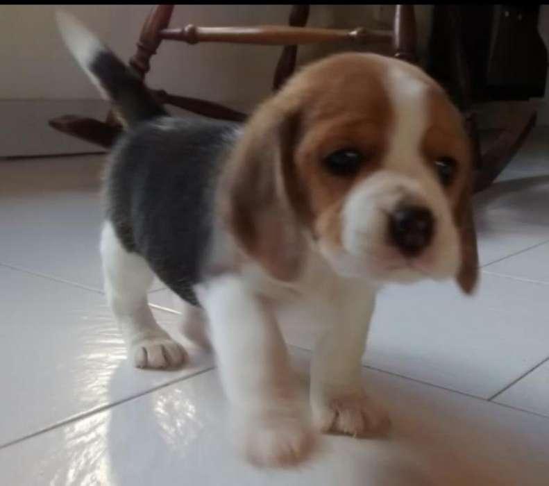 <strong>cachorro</strong>s Beagle