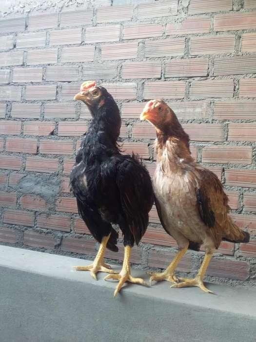 vendo pollones
