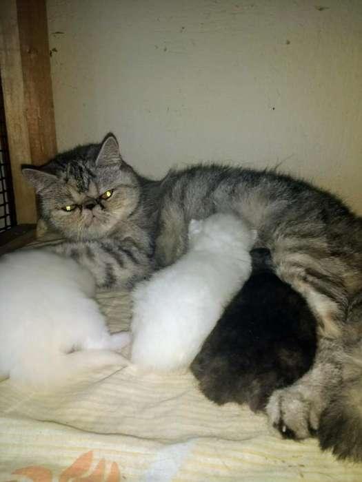 Gata Exótica con Sus 3 Bebes Exóticos