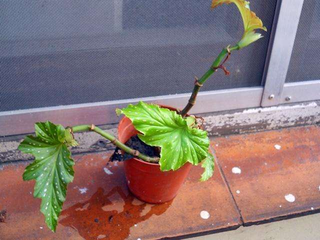 Begonia aconitifolia Begonia coccinea begonia Alas de Angel