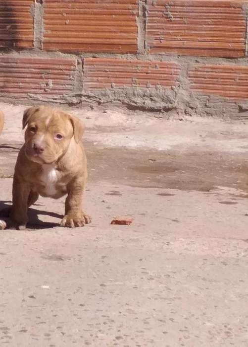Hermosos Cachorros Pitbull Red Nose