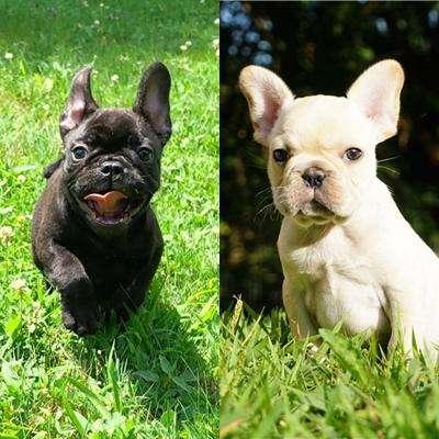 Vendo hermosos cachorros de bulldog francés hembra negrita machito crema criados en casa raza totalmente pura