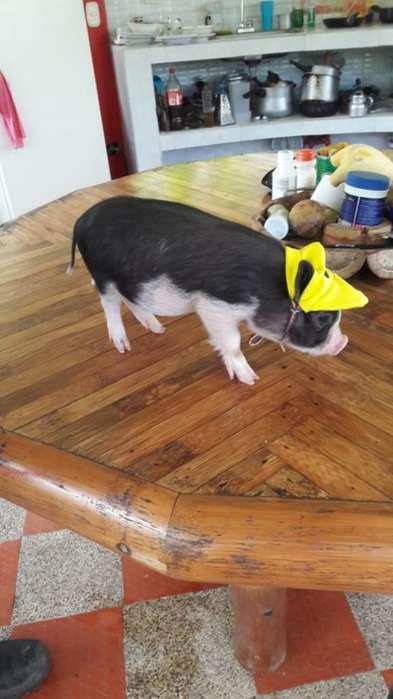 Venta de Mini Pigs Y Micro Pig Junio