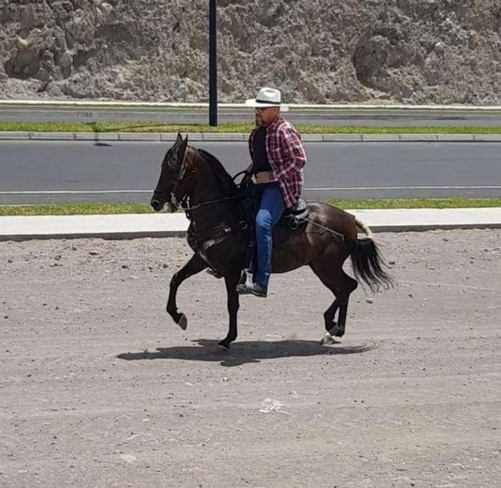 <strong>caballo</strong> De paso Colombiano