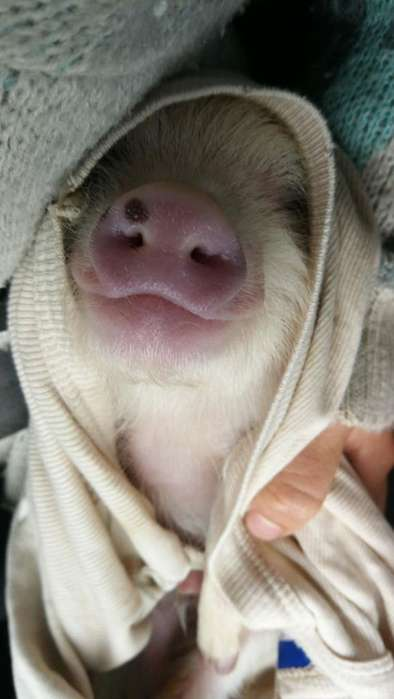 Mini Pig Juliana Hermoso 420