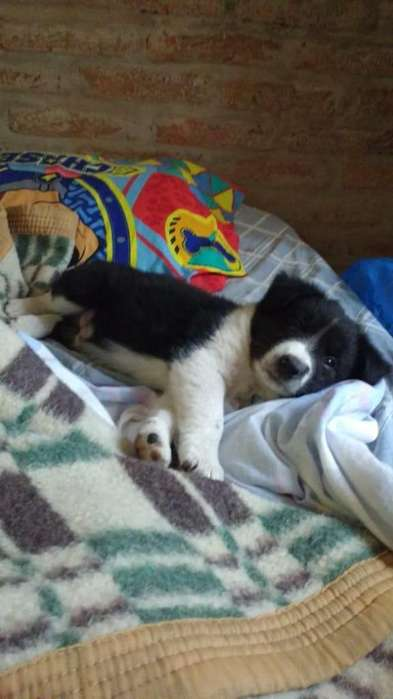 Border Collie Cachorros 0343 154250138