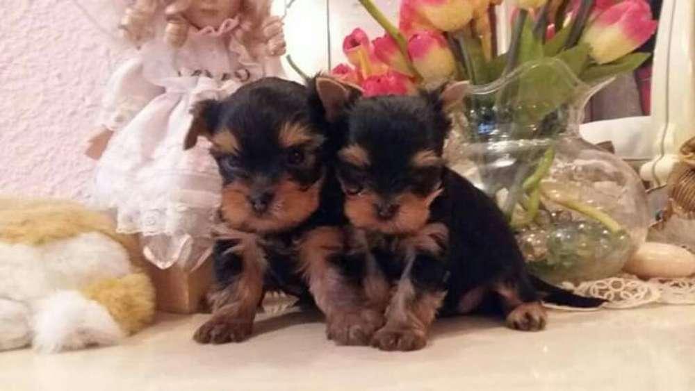 <strong>perros</strong> Venta Cachorros Certificados Acc