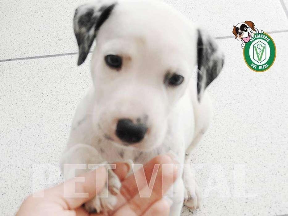 <strong>cachorro</strong>S HERMOSOS DALMATA EN PET VITAL !!!