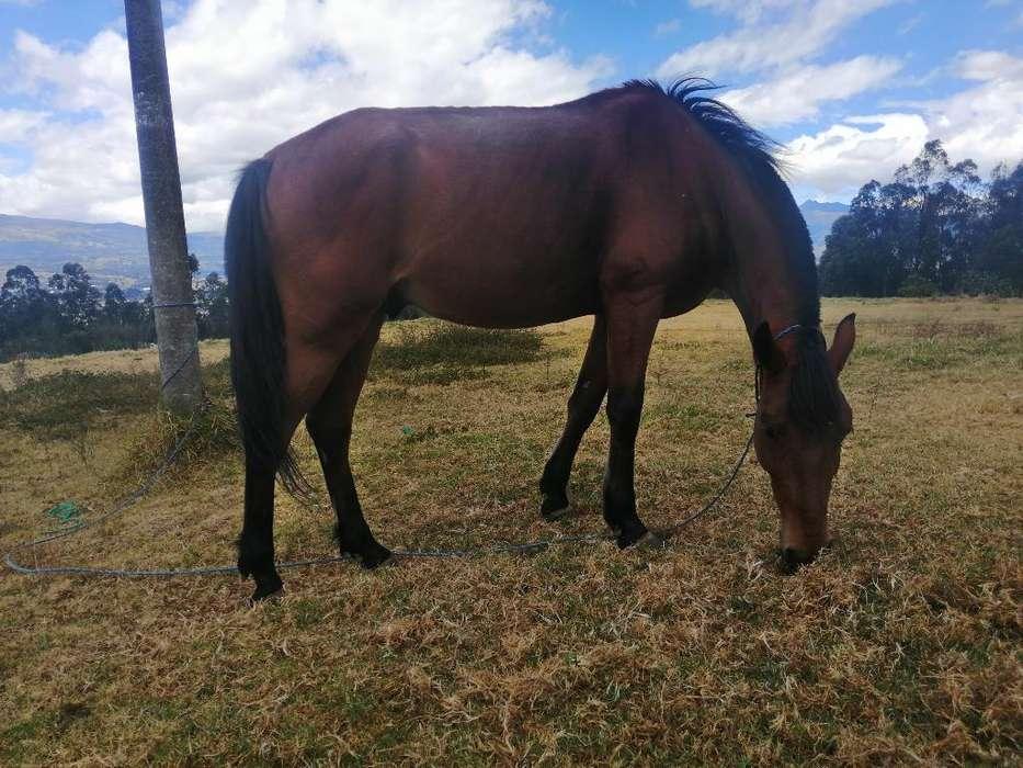 Lindo <strong>caballo</strong> de Vaqueria