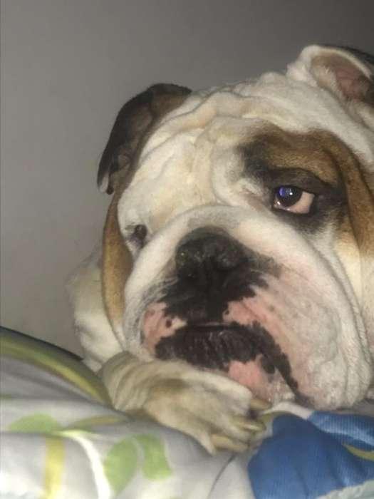 Lindo <strong>bulldog</strong> para Monta 3209910019