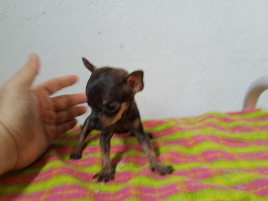 Vendo Cachorro Chihuahua Bolsillero Mach