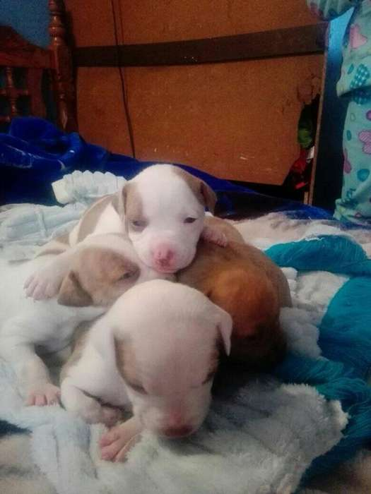 vendo <strong>cachorro</strong>s pit bull
