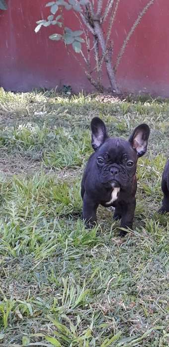 Cachorra Bulldog Frances Hija de Merle