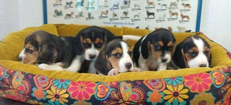 Bellos cachorros <strong>beagle</strong> hembritas y machos, estan desparasitados y vacunados solo por whatsapp 3212553098